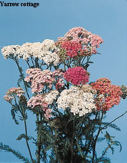 Botanical Flower Name Achillea millefolium