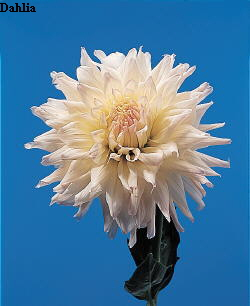 Common Flower Name Dahlia