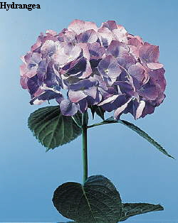 Common Flower Name Hydrangea