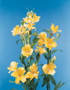 Common Flower Name Peruvian lily