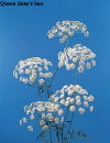 Botanical Flower Name Queen Anne's lace