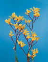 Botanical Flower Name Kangaroo paw yellow