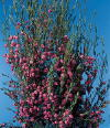 Common Flower Name Boronia