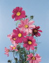 Common Flower Name Cosmos