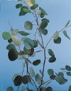 Botanical Flower Name Eucalyptus silver dollar
