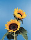 Common Flower Name Sunflower Sunbright