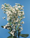 Botanical Flower Name Candytuft