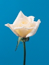 Common Flower Name Rose Bridal White